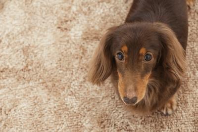 dog-dander